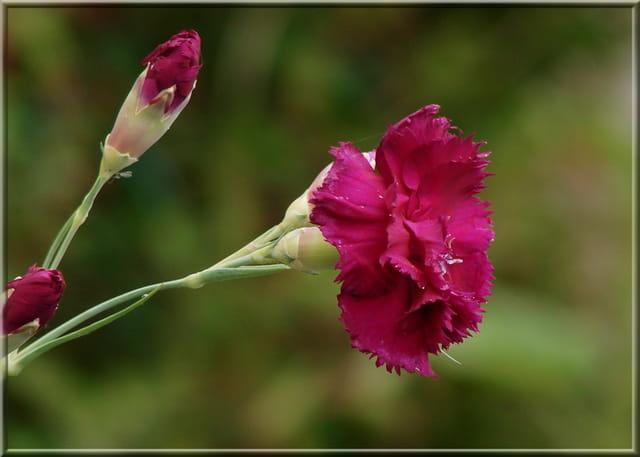 Oeillet de fleuriste