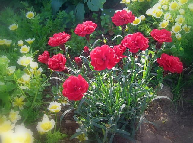 Oeillets et limnanthes