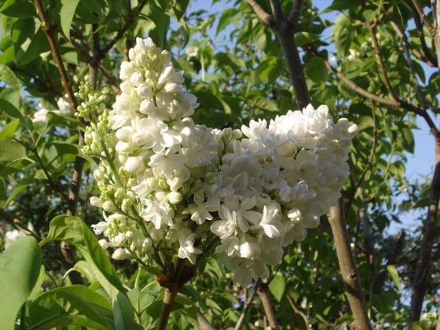 Oh mon beau lilas blanc