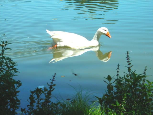 Oie de l'étang de Choisel