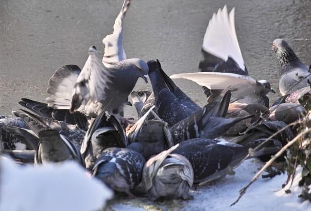 Oiseau au ravitaillement (pigeon)