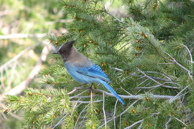Oiseau bleu Yosemite Park