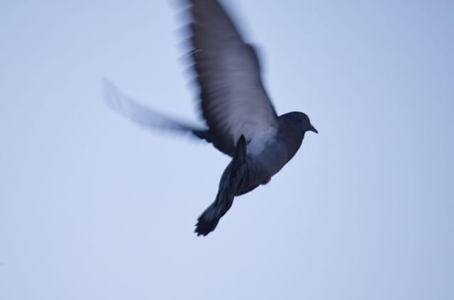 Oiseau en vol (pigeon)