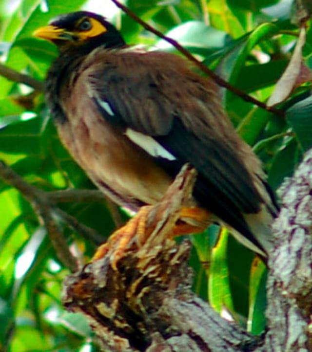oiseau mahorais bec jaune par virginie giscloux sur l