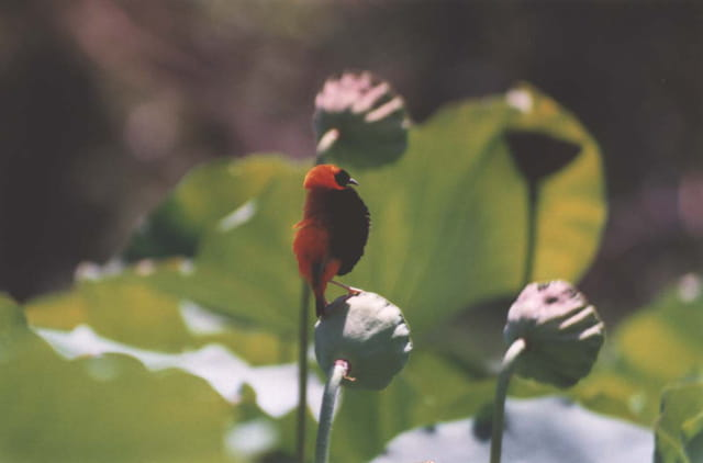 Oiseau sur lotus