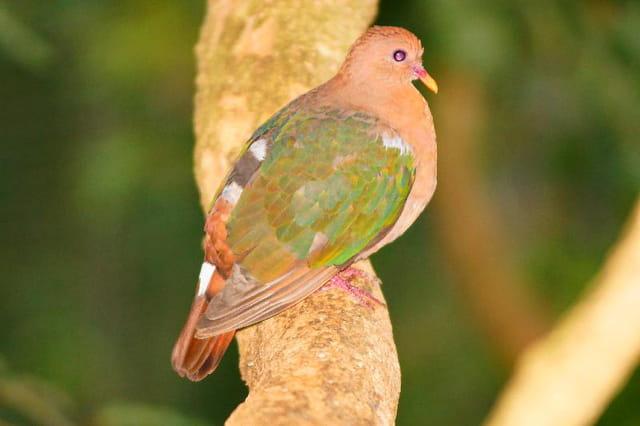 oiseaux de nouvelle caledonie
