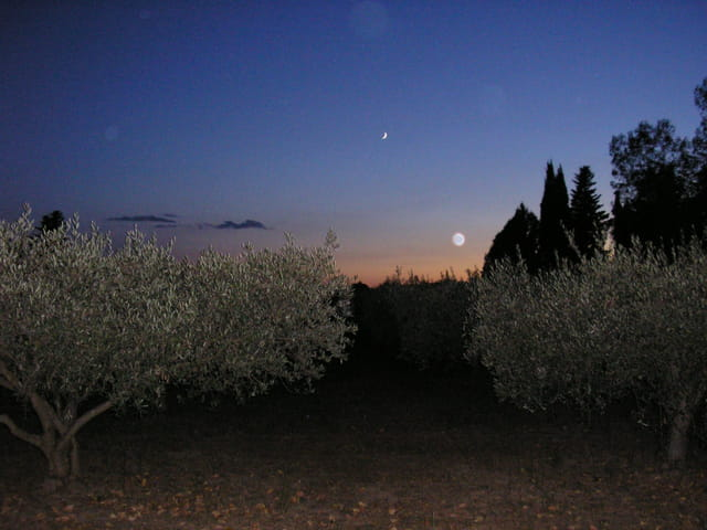 Oliviers sous la lune