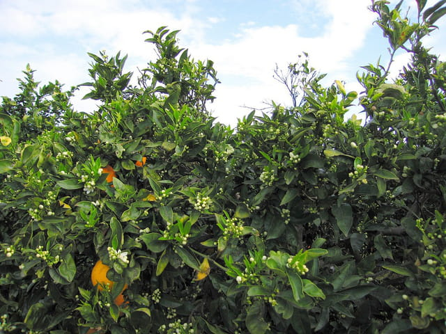 Oranger (1)