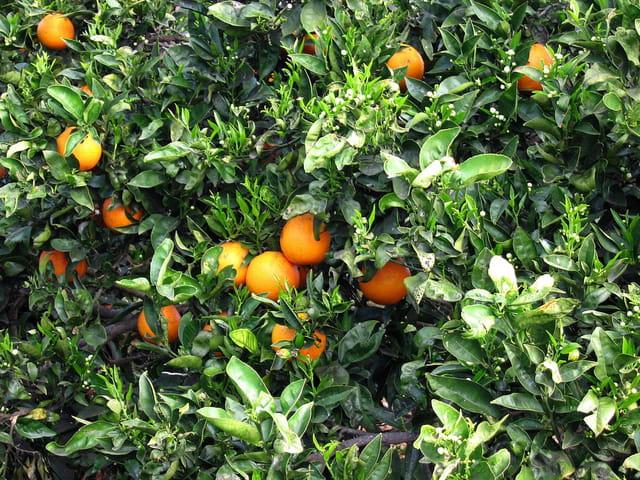 Oranger (3)