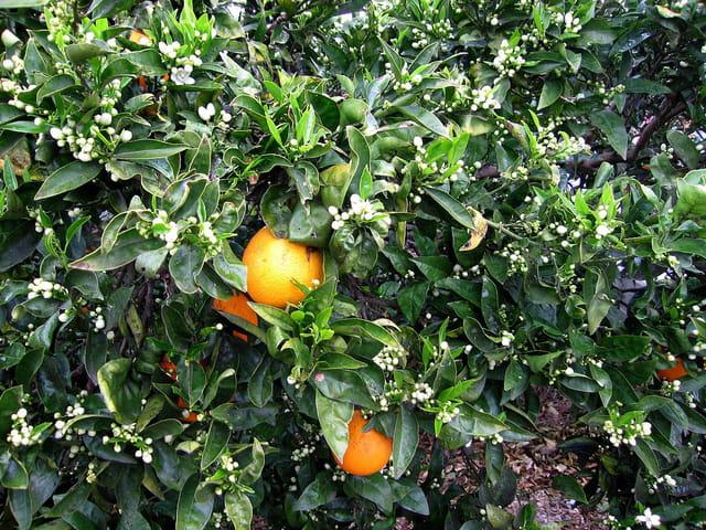 Oranger (4)