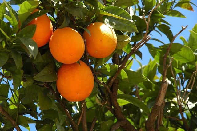Oranges à Kemer