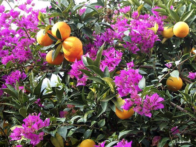 Oranges fleuries
