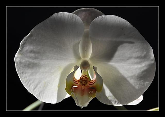 orchid e blanc par claudine gaulier denis sur l 39 internaute. Black Bedroom Furniture Sets. Home Design Ideas