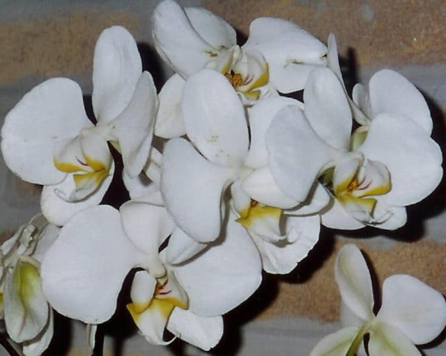 orchid e blanche par helena duhoo sur l 39 internaute. Black Bedroom Furniture Sets. Home Design Ideas