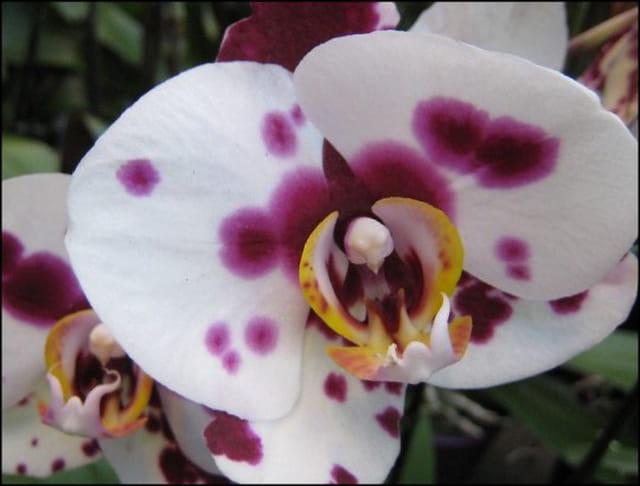orchidee blanche tachet e par francine ancel sur l 39 internaute. Black Bedroom Furniture Sets. Home Design Ideas