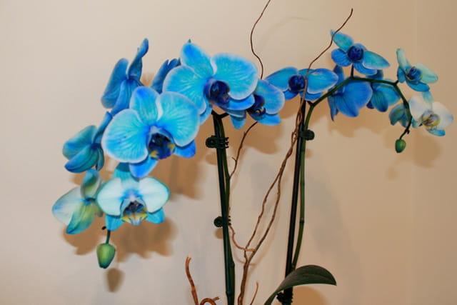 Orchidee bleu