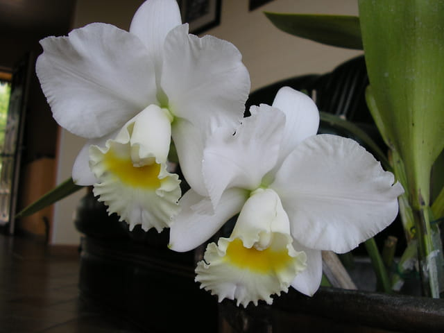orchidee cattleya par daniel vernhet sur l 39 internaute. Black Bedroom Furniture Sets. Home Design Ideas