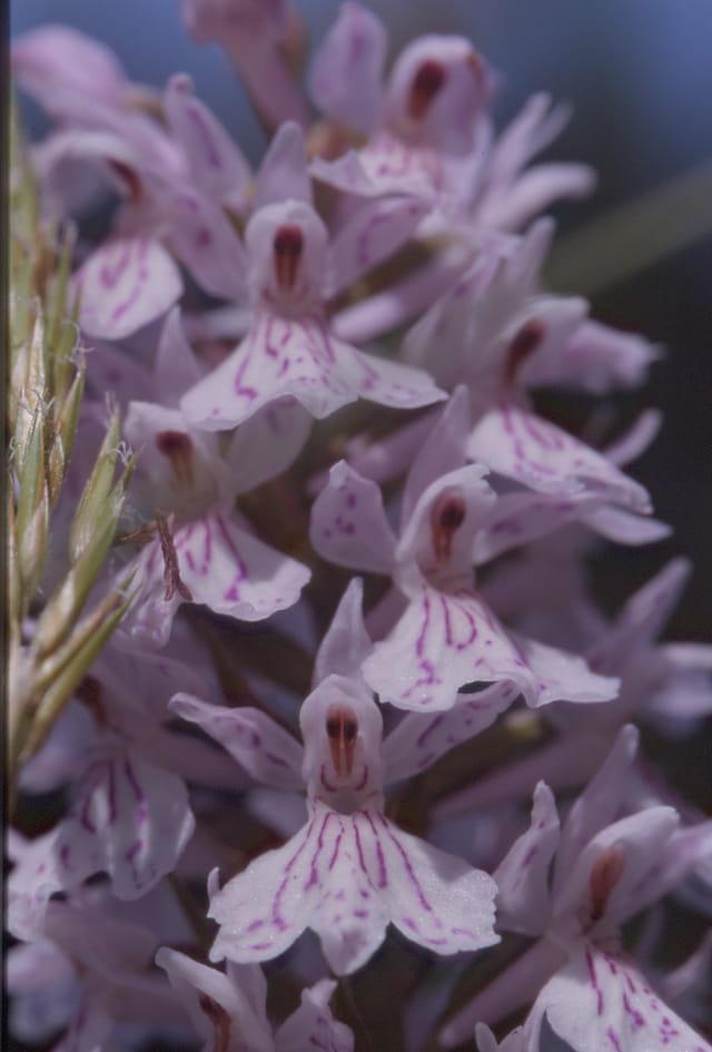 Orchidée - Dactylorhiza Maculata
