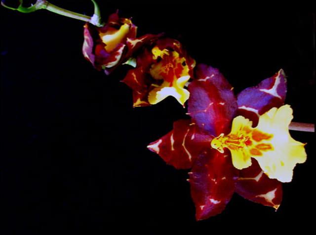 Orchidée en fleur 14 02 07