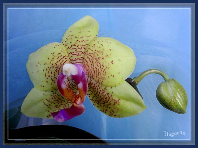 Orchidée et bouton