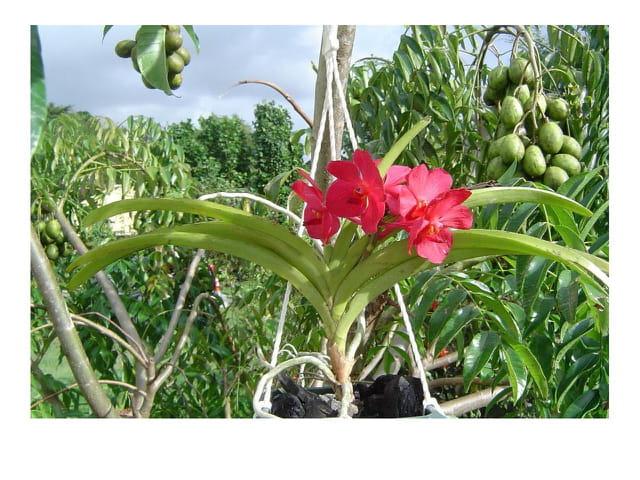 Orchidée et prunes de cythère