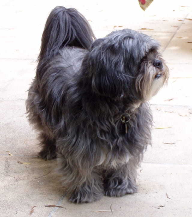 """""""oural"""" - lhassa apso"""