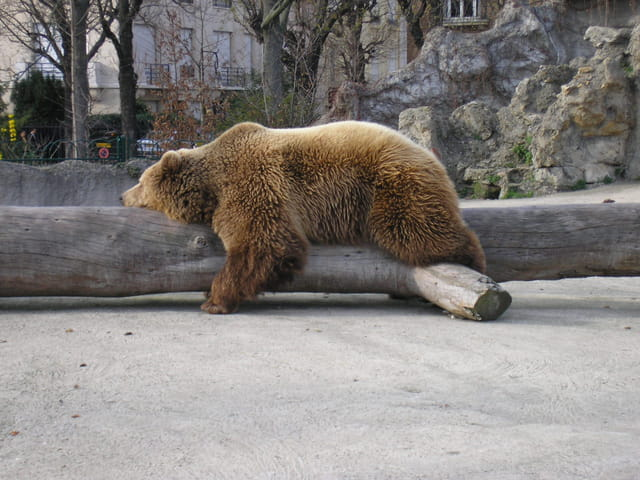 Ours au repos