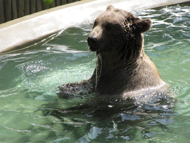 Ours brun dans son bain