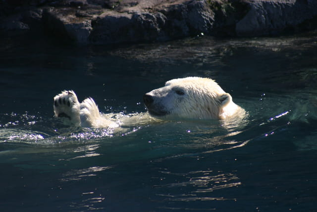 Ours polaire - bon nageur !