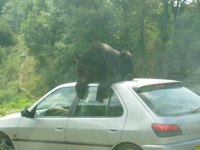 Ours sur le toit