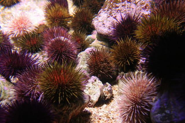 Oursins colorés