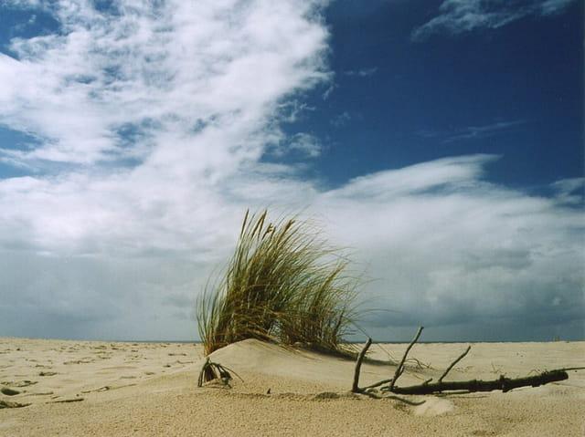 Oyats sur la dune