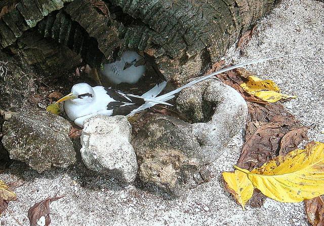 Paille en queue au nid