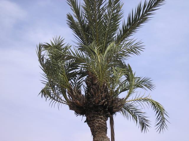 Palmier à 7 bouquets de palmes