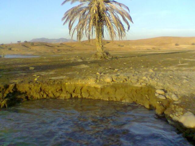 Palmier au nord de l'algerie