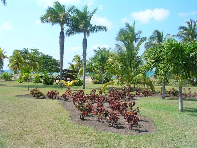Palmier royal de cuba