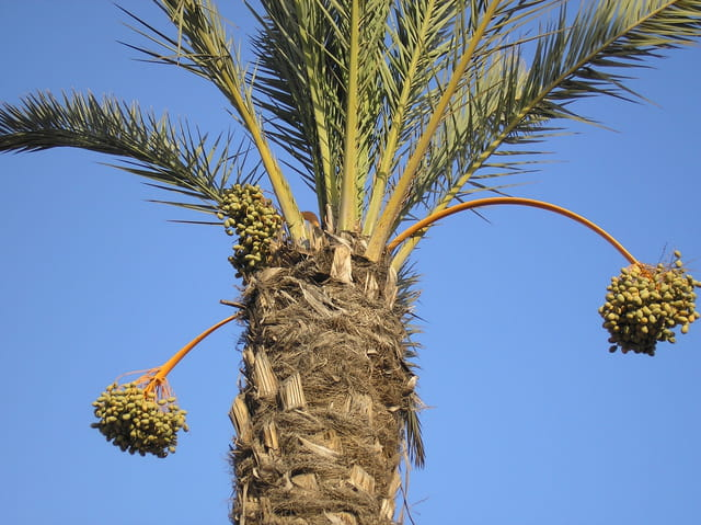 Palmiers dattiers de Marrakech