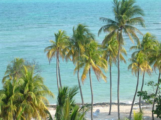 Palmiers de cuba