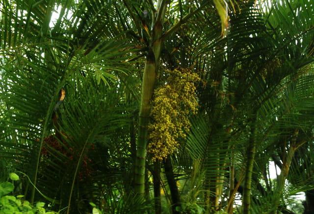 Palmiers multipliants - fruits