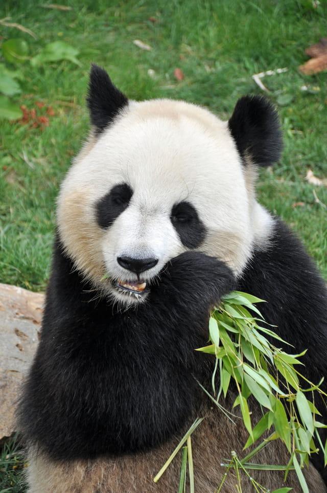 Pandas à Beauval
