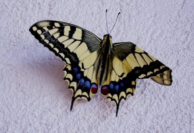 Papillon à l'aile pliée