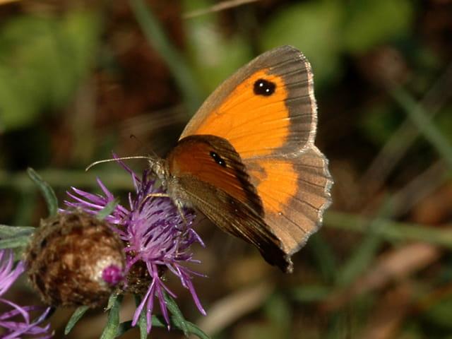 Papillon  (amaryllis)