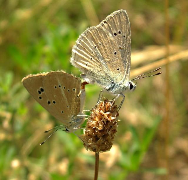 Papillon amoureux