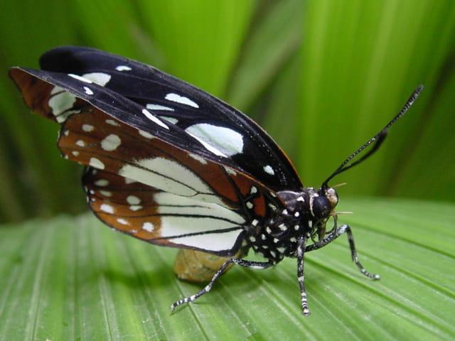 Papillon assis