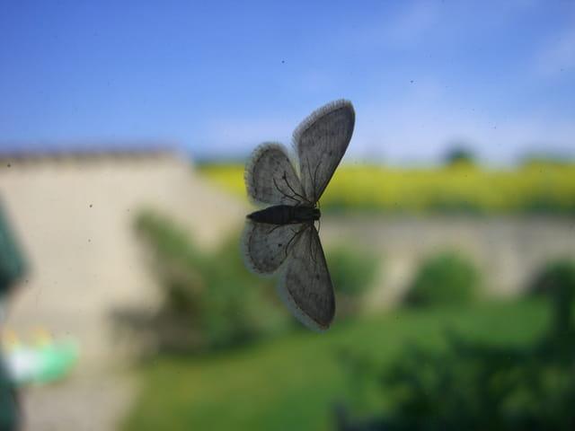 Papillon au vol