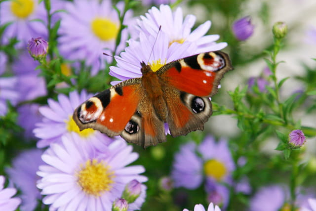 Papillon aux asters