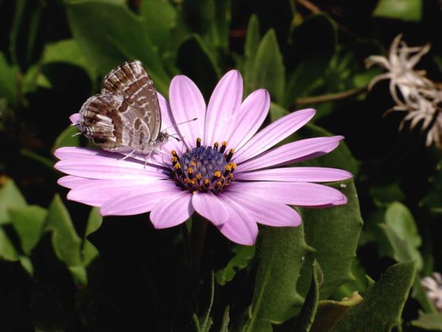 Papillon azuré