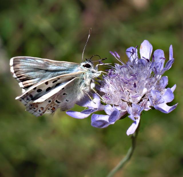 Papillon Azuré chiffonné