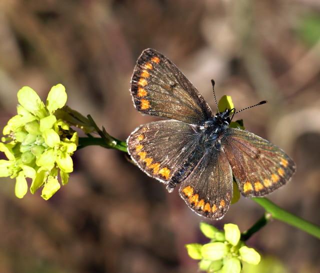 Papillon  Azuré commun corse