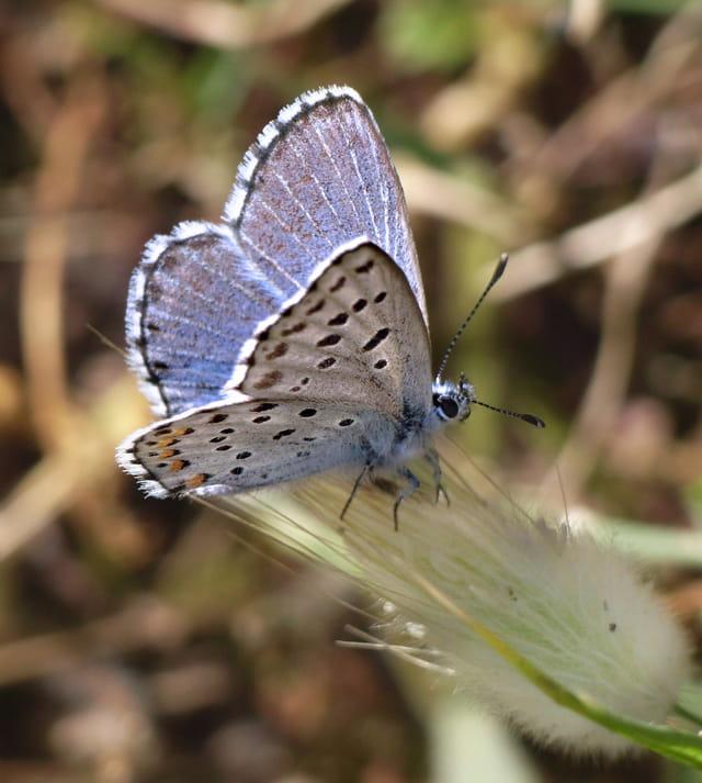 Papillon Azuré corse